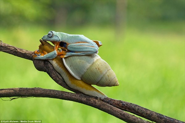 カタツムリをヒッチハイクし、移動手段にするカエル!!