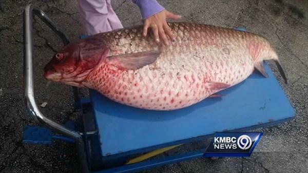 ミズーリ州の排水溝から1.8メートルの巨大な鯉(ソウギョ)が見つかる!
