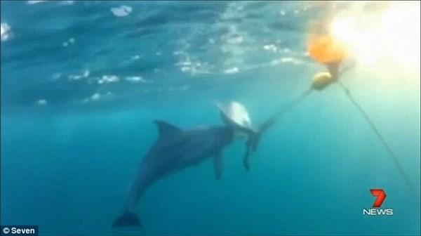 シーシェパードが公開! サメ用のワナにかかった子イルカを助ける母イルカ!