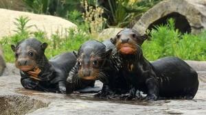 ウナギイヌにそっくりだが凶暴! 絶滅危惧種オオカワウソのベビー3匹誕生!