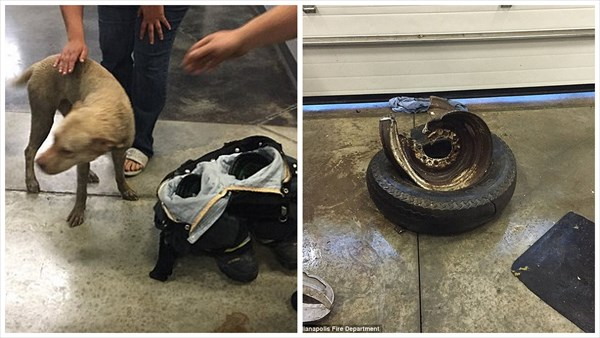 自動車のホイールに挟まった犬 消防士によって無時救助される!