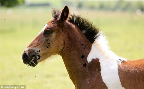 馬の中に馬!? 白馬の模様をもった馬「ダヴィンチ」