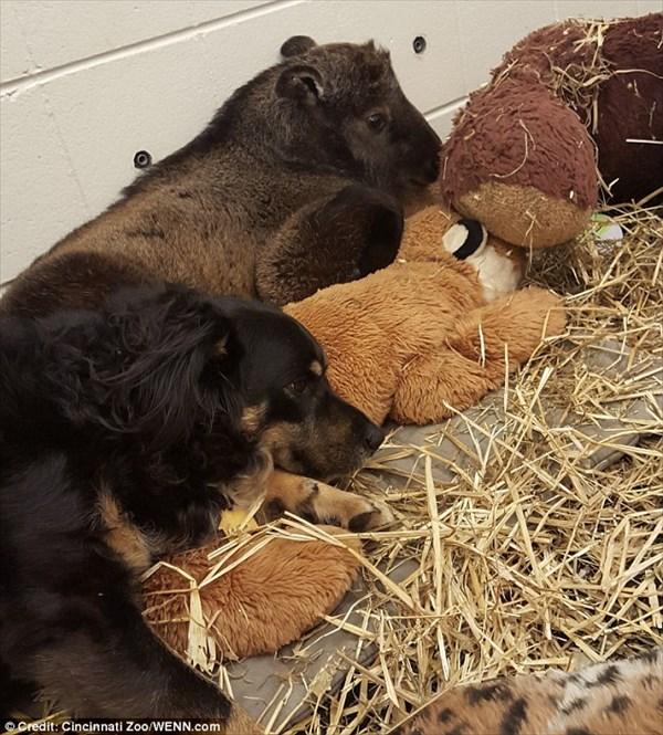 これまで6種の動物の母親となった犬 今度はウシ科の「ターキン」の世話をする