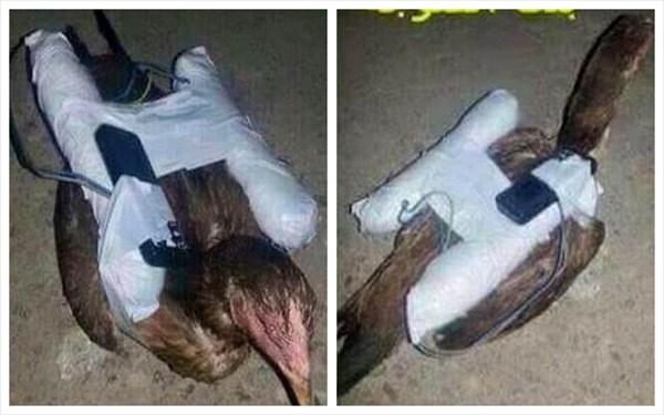 イスラム国(ISIL)の新型兵器!? 爆弾を搭載したニワトリ爆弾!