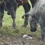 水たまりに取り残された赤ちゃんアザラシと、興味津々の30頭のウシ