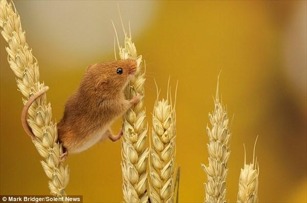小麦の穂にぶら下がれるほど小さく、可愛いカヤネズミ!!