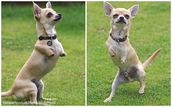 二本脚のチワワ「ルー」 カンガルーのように元気にピョンピョン跳ねて移動