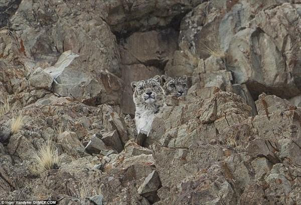 カモフラージュの天才ユキヒョウ!画像に隠れたユキヒョウを見つけられるか?