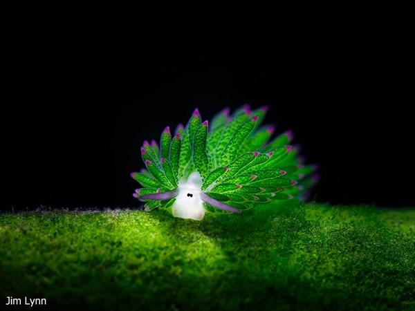 藻を食べて光合成をするテングモウミウシ! エサが無くても光合成で半年生きる