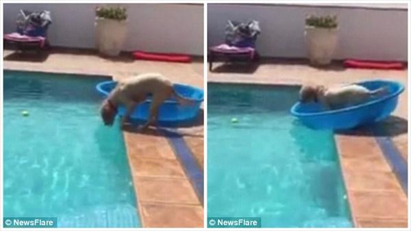 濡れるのメンドくせぇ! タライをボートにしてプールに落ちたボールを拾う犬!