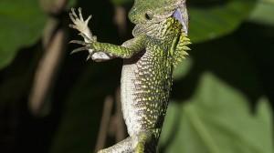 インドネシアで、太いトカゲを丸飲みにする細いヘビが撮影される!