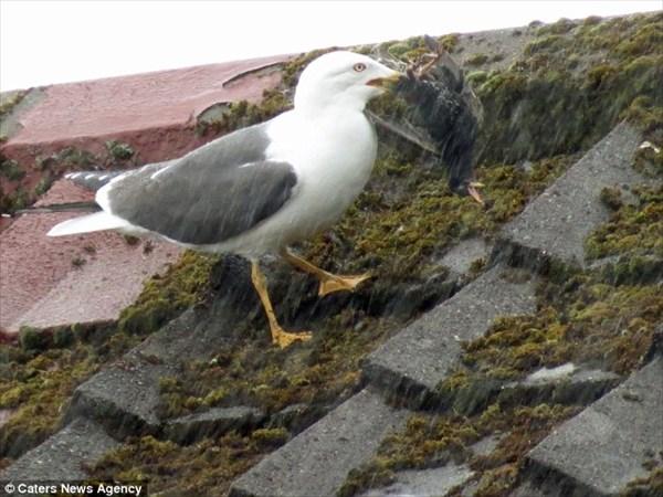 カモメが鳥を食べる! 雛の目の前で、母鳥のムクドリを食べるカモメ