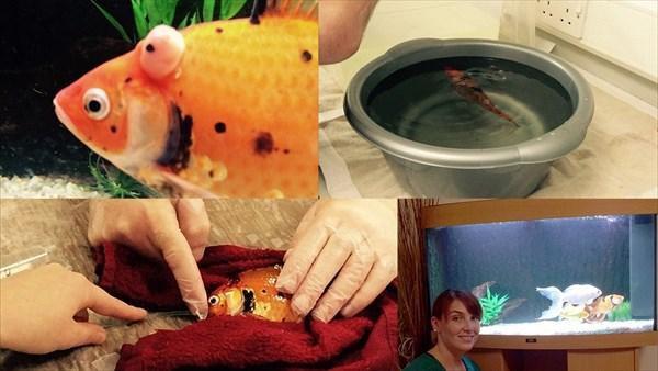 もう当たり前!? またまた金魚の手術がおこなわれる。 費用は7万7千円!