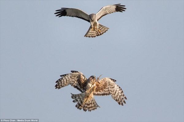 微笑ましいけど見た目怖い! 餌を空中で渡すハリアー(チュウヒ)のカップル