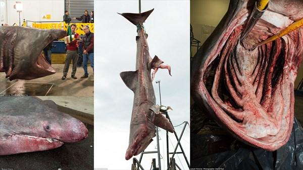 先月水揚げされたウバザメ デカ過ぎて肉切り包丁で解体!研究用に保存へ