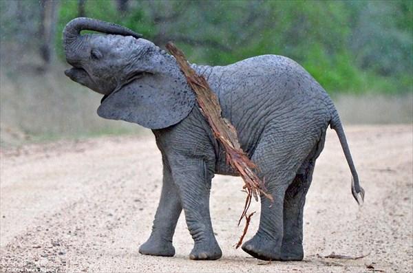 体がかゆい! 木の皮を使って器用に体をかきむしる赤ちゃんゾウ