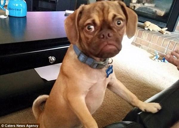 ふて腐れた表情の犬! パグルの「アール」君が海外サイトで話題に!!