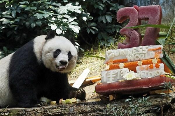 ギネスにも認定! 最長寿のジャイアントパンダが、37歳の誕生日を迎える!