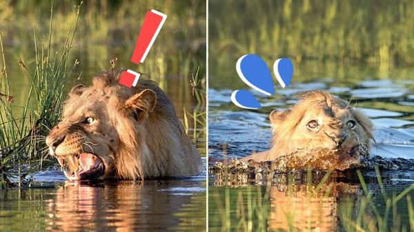 水浴びをしていたライオン ワニを見つけて、焦って水場を脱出!!