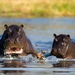 もはや草食じゃない… インパラを捕え、捕食する二頭のカバ