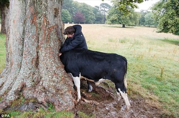 牛が吸い込まれる木!? 放牧中の牛、木にできた穴に挟まれ2時間の救出劇!