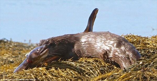 カワウソVS大アナゴ スコットランドで珍しい捕食シーンを撮影!