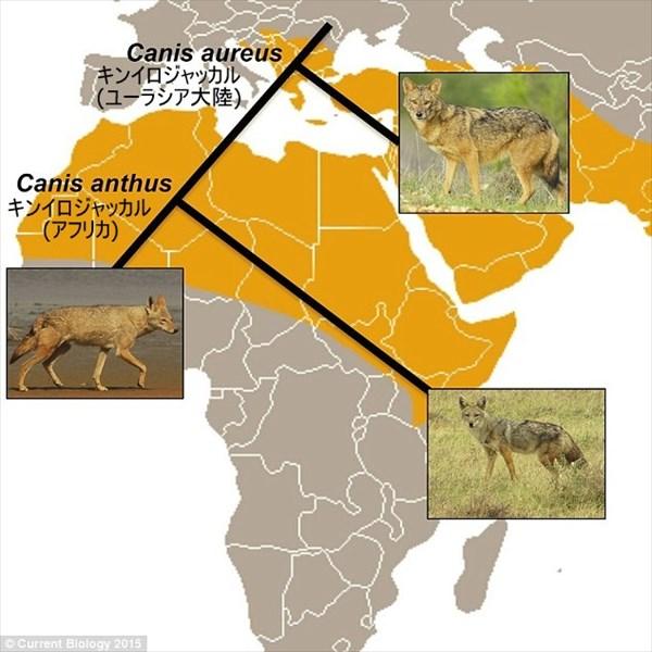 150年ぶりにイヌ科の新種発見! アフリカと中東のジャッカルが別種と判明!
