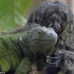 ドイツの動物園にいるマーモセットとイグアナが仲良すぎる!