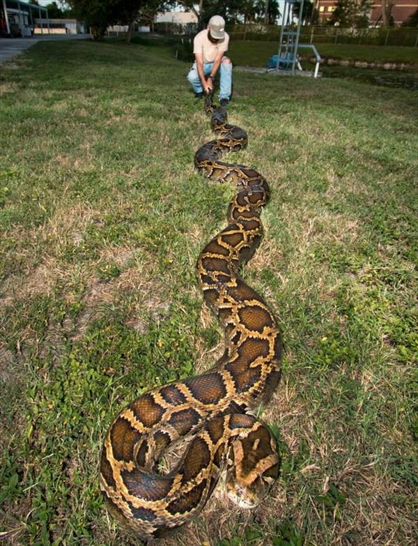 史上2番目の大きさ! 巨大なビルマニシキヘビが捕獲される!!