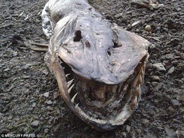 鋭い牙を持った謎の生物の死骸が発見される! ネット上で論争に発展!!