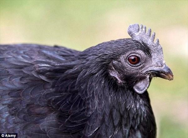 肉や骨、内臓まで真っ黒! 家畜界のランボルギーニ!希少な鶏アヤム・セマニ