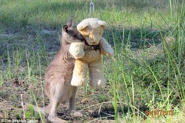 むちゃ可愛い!! クマのぬいぐるみを抱いた赤ちゃんカンガルー