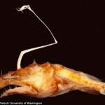 メキシコの深海で新種のアンコウ発見! 長い頭部とオレンジ色のボディ!
