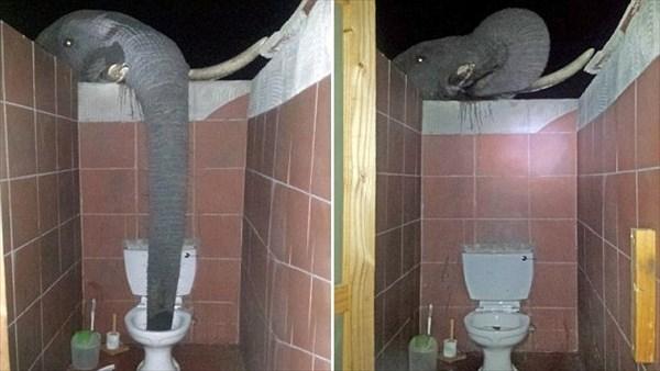 ウゲッ・・・ ボツワナでトイレから器用に水を飲むゾウが撮影される