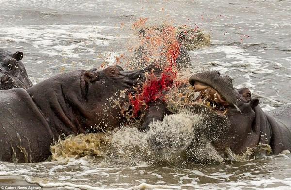 子供のカバを大人が襲う 草食のはずのカバが共食いをする衝撃のシーン撮影!