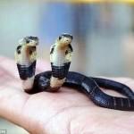 中国南部で双頭のヘビ(タイワンコブラ)誕生! 大きく成長するよう動物園へ