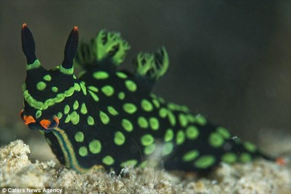 おそらく世界初! ボルネオ沖で双頭のウミウシが発見される!