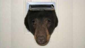 猫用ドアに立ち往生・・・ 全然怖くないおバカなツキノワグマ出現