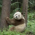 白と黒じゃない! 茶と白のパンダが発見される!原因は不明だが亜種の可能性も