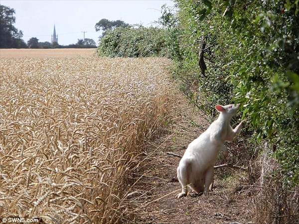 何故かイギリスにワラビー出現! しかもレアなアルビノの白いワラビー