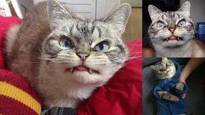 猫界に新スター誕生! 長い牙をもったドラキュラ猫のロキ