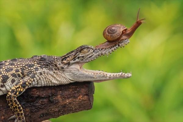 怖いもの知らずのカタツムリ ワニの鼻先に登って、口の中をのぞき込む!!