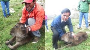 幸運?それとも災いの前兆!? 村人達を二分させた双頭の牛がペルーで誕生