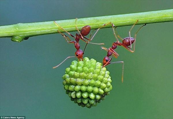 アカアリのパワーと素晴らしいチームワーク! インドネシアで撮影