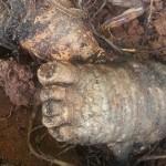 庭から出てきた赤ちゃんの足のような物体・・・ その正体はマンドレイクの根?