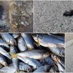 中国天津の倉庫爆発から6キロの距離で魚が大量死 しかし政府は問題無いと主張