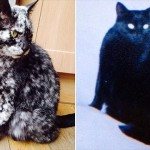 黒猫がまだら模様の猫にモデルチェンジ!? 白斑症によって模様が変わった猫!