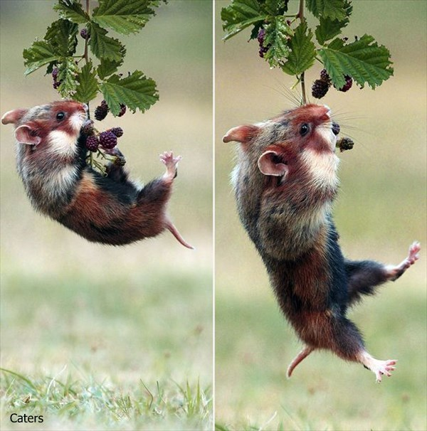 希少な野生のハムスター「クロハラハムスター」の可愛いらしい写真!