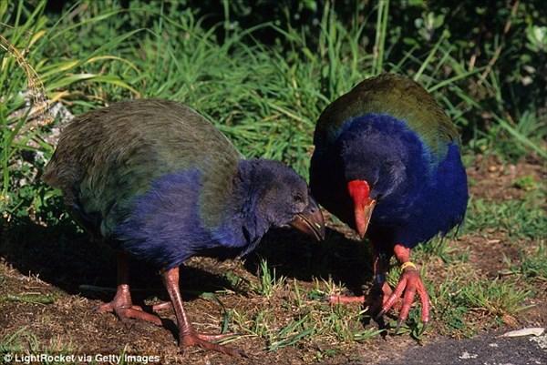生息数300羽の絶滅危惧種の鳥「タカヘ」 外来種の鳥と勘違いされ駆除される