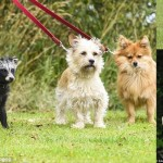 イギリスで、犬とともに暮らすタヌキのバンデットくん